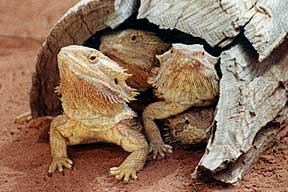 Alice Springs Reptile Centre - Accommodation Fremantle