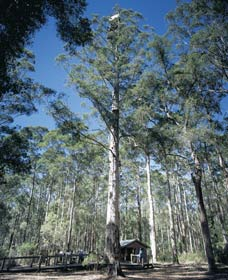 Diamond Tree Lookout Manjimup - Accommodation Fremantle