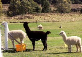 Maydena Country Cabins Accommodation  Alpaca Stud - Accommodation Fremantle