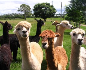 Banyandah Alpacas - Accommodation Fremantle