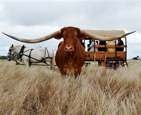 Texas Longhorn Wagon Tours and Safaris - Accommodation Fremantle