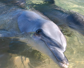 Dolphins of Monkey Mia - Accommodation Fremantle