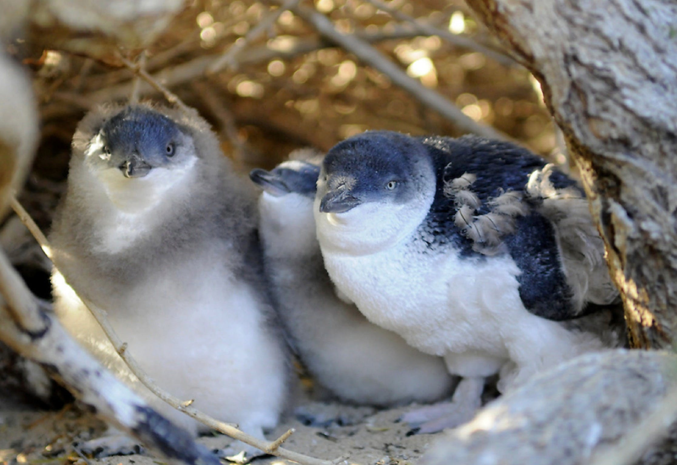 Penguin Island - Accommodation Fremantle