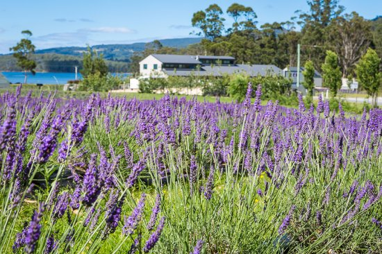 Port Arthur Lavender - Accommodation Fremantle